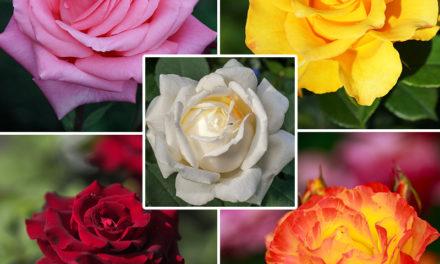 Butasi de trandafiri – pentru o gradină ca in vise